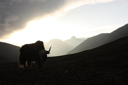 Yak, Bhutan