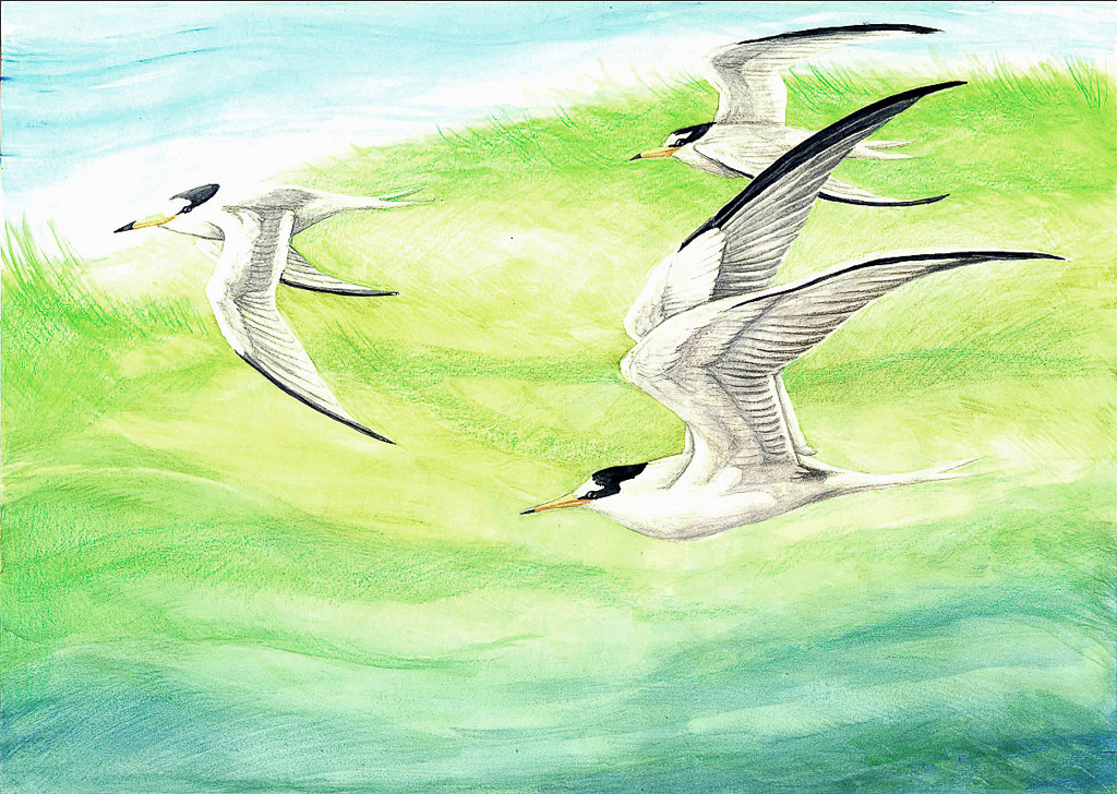Arctic terns Traditional Media Watercolour Colour Pencils