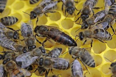 bees-1163028_1280.jpg