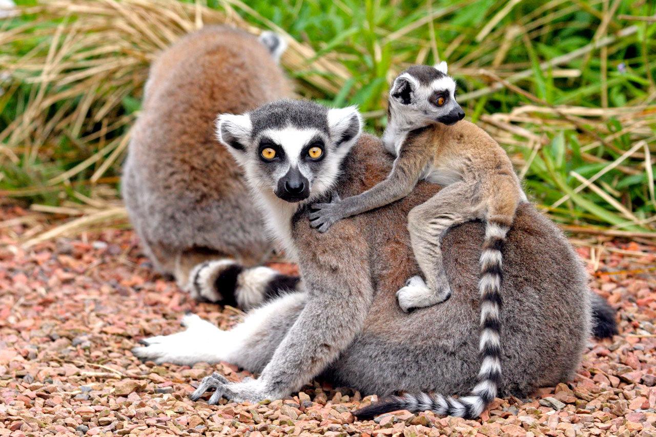 Lémuriens raphia tana Madagascar