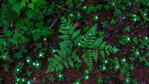 ferns and bunchberry, Massawepie