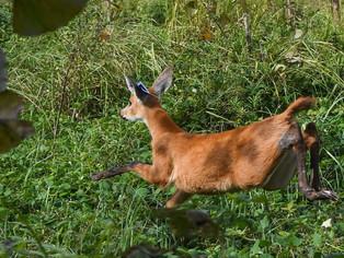 San Fernando: ciervos del pantano regresaron a su hábitat