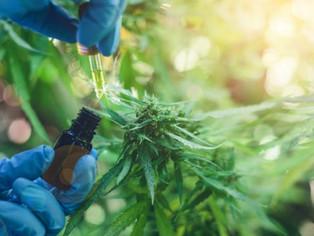 Cannabis: San Martín se prepara para el uso medicinal