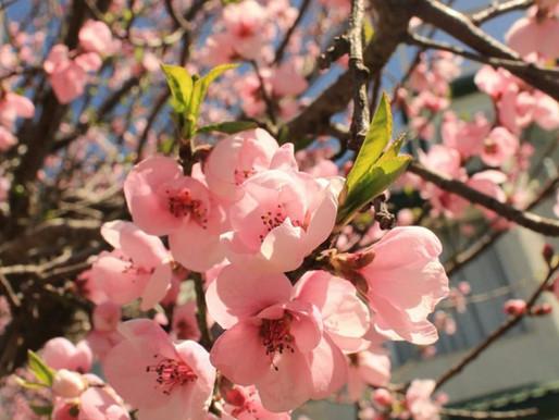 Cherry Blossom season in Mashobra
