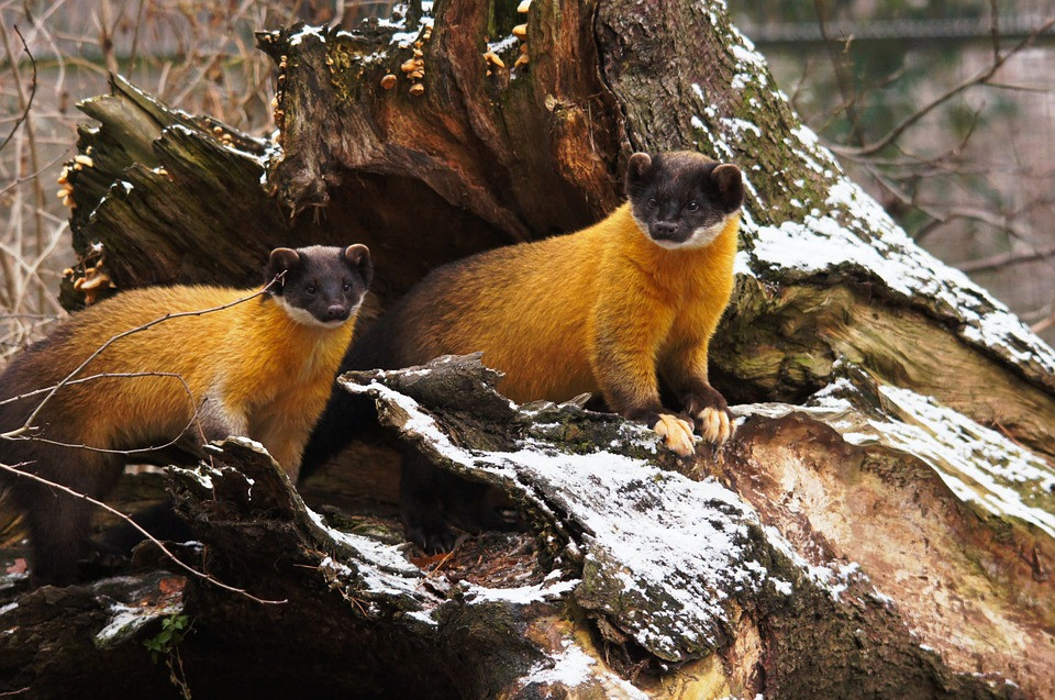 Yellow Throated Martens spotted in Mashobra