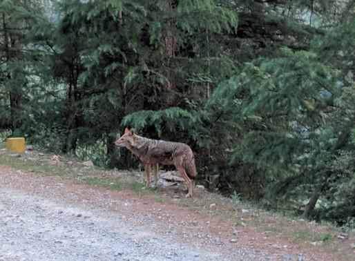 Predators of Mashobra! Leopards, civets, jackals, martens & more.