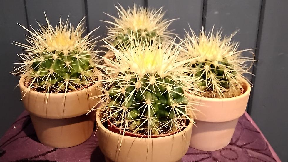 Cushion Cactus