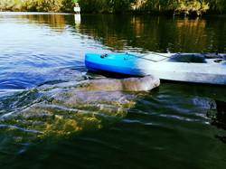 Kayaking with Manatees Guided Kayak Tour