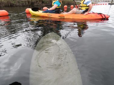 Kayak with Manatees at Blue Springs, Ora