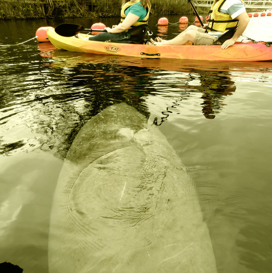 Manatee Kayaking Tours, Space Coast, Coc