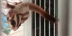 וולט הסנאי המעופף