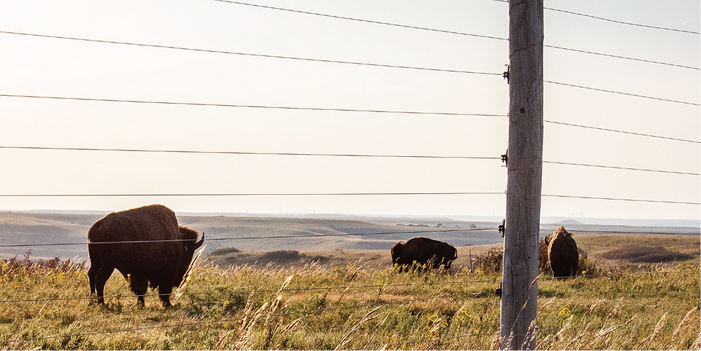 bison on a prairie behind a wire fence at sunset