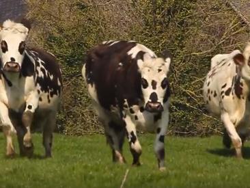 La danse des vaches. Dialogue agricole