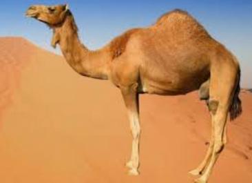 Jésus, Mohamed et le chameau