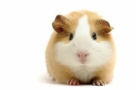 Conejillo de Indias (Guinea Pig)