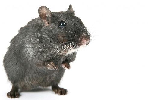 Ratas & Ratones