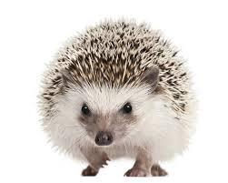 Erizo de Tierra (Hedgehog)