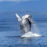 Humpback whale watching.jpeg