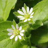 chickweed (edible and Medicinal).jpg
