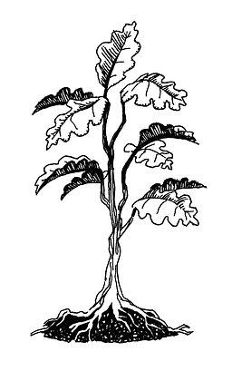 Golden Oak Sapling