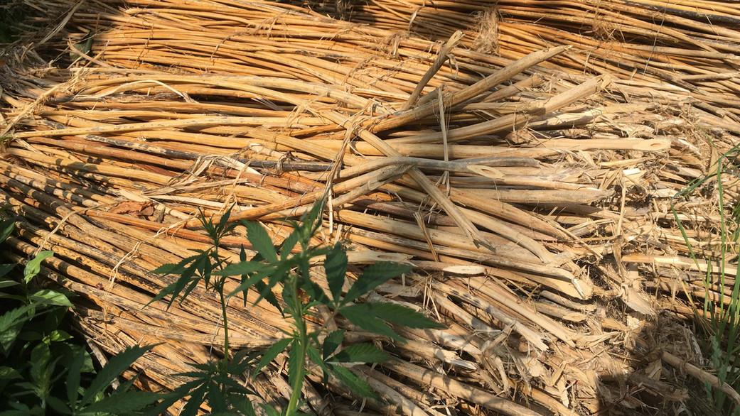 hemp-stalks-1.jpg