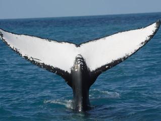 Comportamento da Baleia Jubarte é tema de pesquisa na UFRN