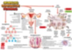 Mapas mentais - aparelho reprodutor femi