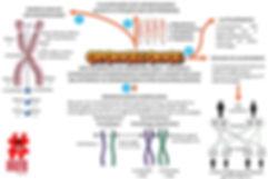 Mapas mentais - 2 - cromossomos cromosso