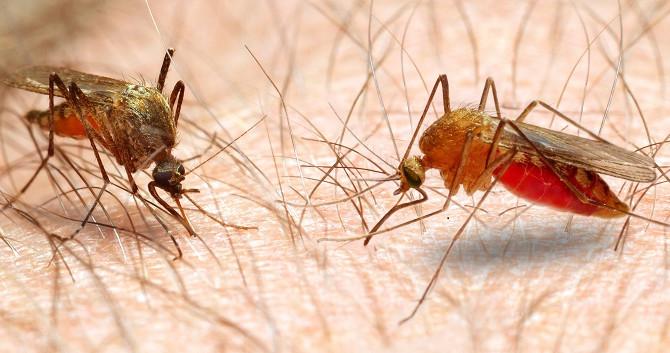 Saliva de animais hematófagos, uma fonte de anticoagulantes para a medicina.