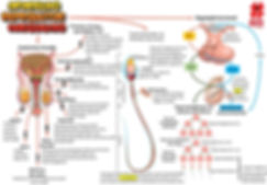 Mapas mentais - aparelho reprodutor masc