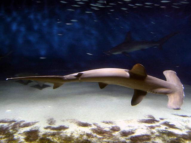 Por que a cabeça dos tubarões-martelo são achatadas?