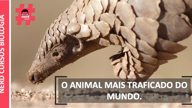 O MAMÍFERO MAIS TRAFICADO DO MUNDO