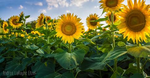 2015_Grinter_Farm_Sunflower_Field_12_lr.