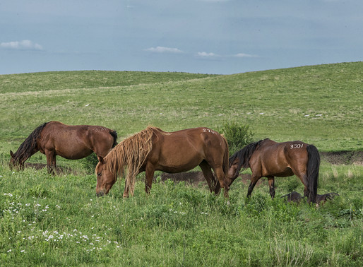 Wild Horses Run Free in the Flint Hills