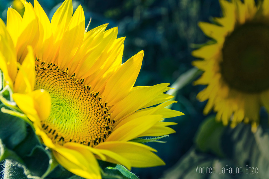 Sunflowers at Grinter's Farm