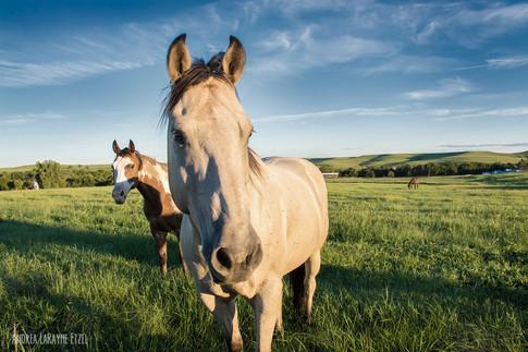 2016_Horses_Flint_Hills.jpg