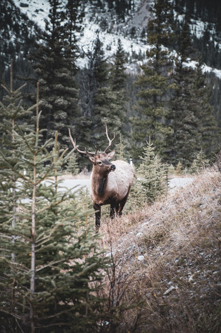 Elk in Banff, Canada