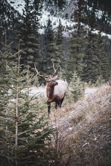 elk-banff-wildlife-mountain-andrea-etzel