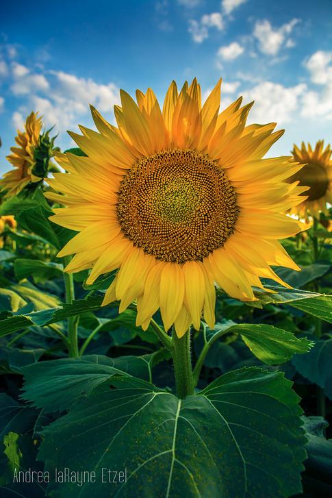 2015_Grinter_Farm_Sunflower_Field_11_lr.