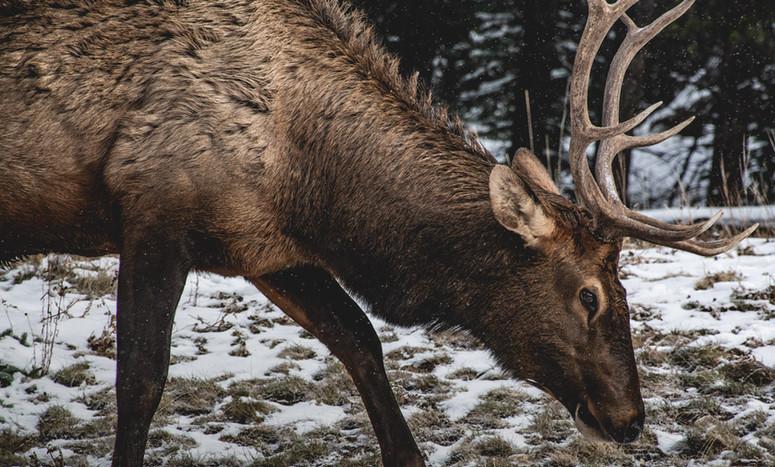 elk-grazing-snow-wildlife-banff-etzel.jp