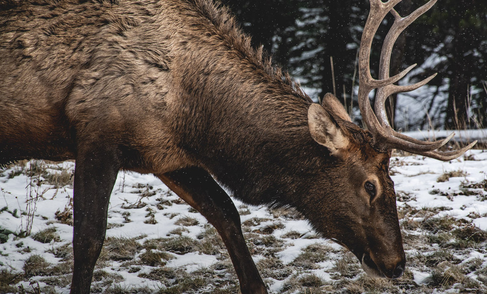 Elk Grazing in the Snow, Banff Canada