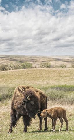 Mama and Calf bison