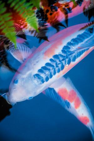 Vibrant Koi Fish