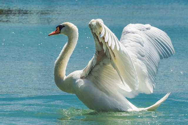 Swan,symbol of purity