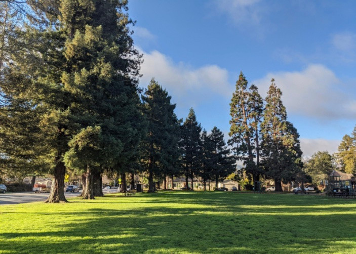 Sequoias and redwoods in Redwood City, California