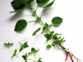 Herbal Remedy : Stinging Nettle