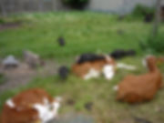 Turkeys and Cattle.JPG
