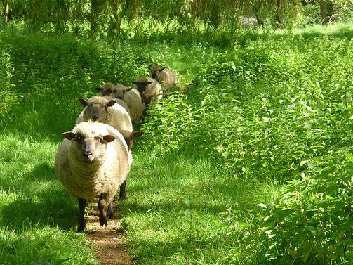 Sheep in a line.JPG