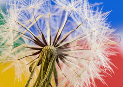 close-up-dandelion-dandelion-seeds-40885