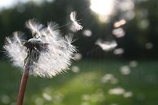 dandelion-nature-sunlight-54300.jpg